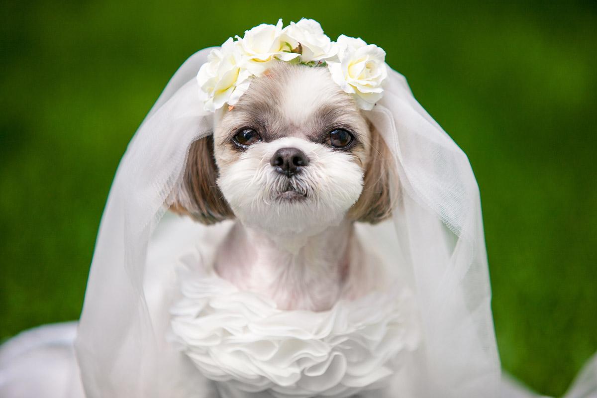 犬と生活 ウェディングドレス 【結婚式,リングドッグ,記念撮影,ブライダルドレス,花嫁】
