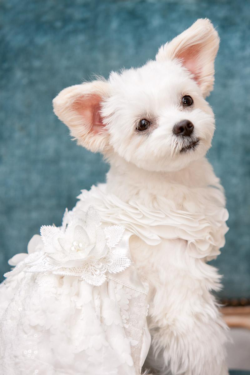 犬と生活 スターベスト・フラワーベスト 【結婚式,リングドッグ,記念撮影,ブライダルドレス,花嫁】