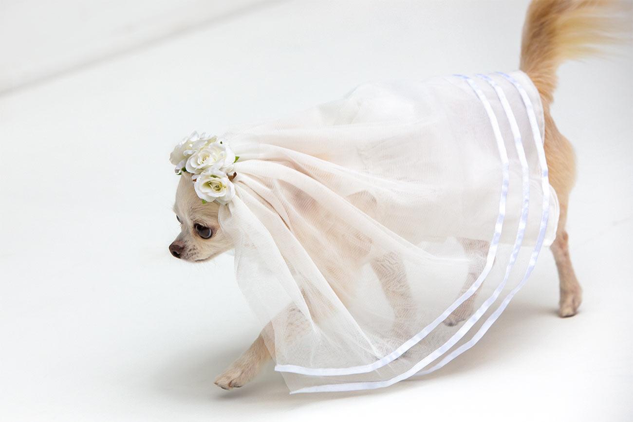 犬と生活 ウェディングベール 【犬服 冬服 小型犬】