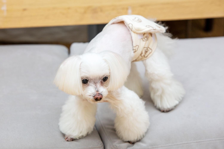 犬と生活 腹巻きサーモベルト くまさん 【老犬 体を温める 免疫力 体力】
