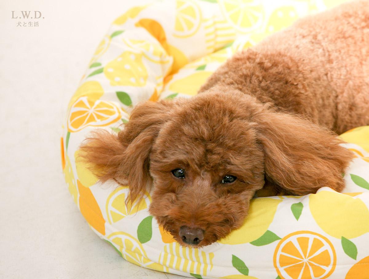 犬と生活 ロウカドラー レモン 【ベッド 洗える】